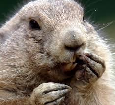 groundhog baby animal facts encyclopedia