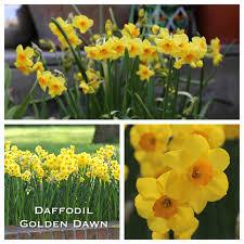astonishing daffodil garden plants