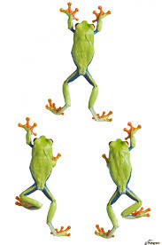 three eyed tree frogs climbing pacificstock canvas