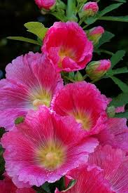 Hollyhock Flowers The 129 Best Images About Flowers Hollyhocks On Pinterest