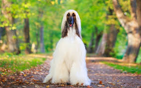 us afghan hound afghan hound puppies breed information u0026 puppies for sale