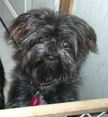 affenpinscher terrier mix affenpinscher windsor jpg