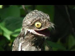 Potoo Bird Meme - common potoo the perfect camouflaged bird nyctibius griseus youtube