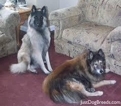 belgian sheepdog trials 303 best tervueren images on pinterest belgian shepherd dog
