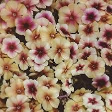 phlox flower new 30 fragrant cherry caramel phlox flower seeds
