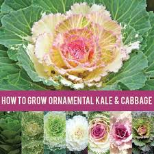 ornamental kale and cabbage thrive in the cool weather of autumn