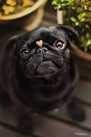 Pug Home Decor 25 Best Black Pug Ideas On Pinterest Black Pug Puppy Black Pug
