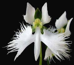 Flower Of Orchid - neomoorea wallisii is a rare montotypic genus found principally in