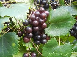 creek muscadine ison u0027s nursery u0026 vineyard