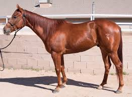 munkers farms barrel horses for sale