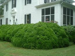 what u0027s killing my boxwood southern living