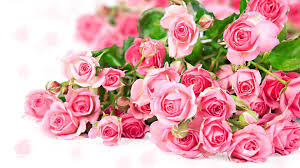 pink and roses fresh pink roses wallpaper look sombeautiful photography