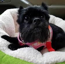 affenpinscher for adoption american affenpinscher rescue home facebook