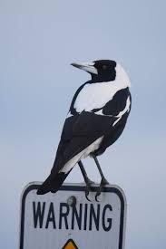 156 best australian birds images on pinterest australian