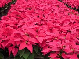 Pointsettia Poinsettias Facts Growing And Caring Tips Of Poinsettia Plant