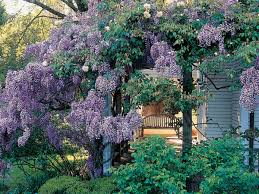 choosing a wisteria sunset