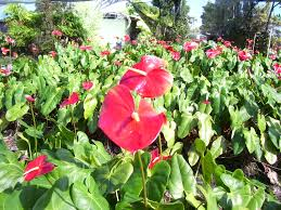 Hawaii Plants Hawaii Plants Anthuriums Silverswords Noni And Sandalwood