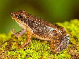 14 new u201cdancing frogs u201d discovered in india u2013 national geographic