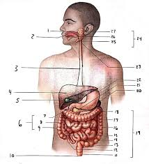 Anatomy And Physiology Exercise 10 Anatomy Of The Digestive System Exercise 38 Flashcards Easy