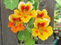 nasturtium flowers flowers leaves and seed pods are all edible and spicy peppery
