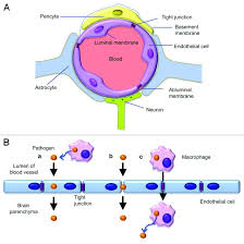 Blood Brain Barrier Anatomy Figure 1 A The Illustration Of The Blood Brain Barrier Bbb