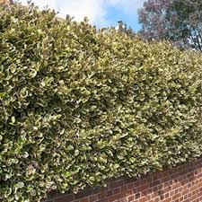 decorating recommended privet hedge plants for home yard or