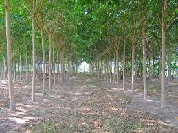 para rubber tree garden in east of thailand stock photo