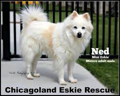 american eskimo dog houston i found duncan on an eskimos and pets