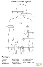 photos spleen coloring page human anatomy diagram