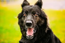 belgian shepherd wallpaper photos shepherd german shepherd dogs black tongue teeth snout