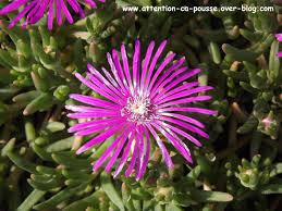 fleurs vivaces rustiques delosperma cooperi pourpier vivace attention ça pousse
