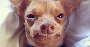Dog Teeth Meme - meet tuna the chiweenie instagram s cutest dog with an overbite