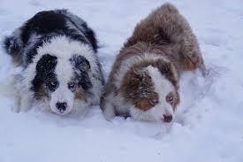 australian shepherd velcro dog dakota rose aussies australian shepherd puppies aussies