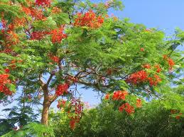 blossoming tropical tree royal poinciana with beautiful flowers