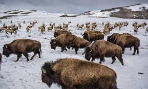 how ranching and hunting shape protections for bison and elk