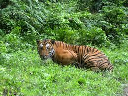india s tiger population has risen significantly in the past 7