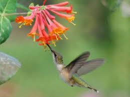 hummingbird flowers 100217 update october flowers