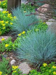 backyard garden with blue fescue ornamental grasses outdoor