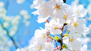flowers lovely pretty spring branches flowering scent beautiful