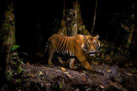 how many tigers are there really a conservation mystery