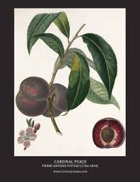 Purple Leaf Peach Tree by Peach Illustrations By Pierre Antoine Poiteau