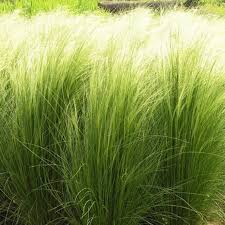 aliexpress buy 10seed bag mexican feather grass seed stipa
