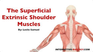 Interactive Muscle Anatomy 087 The Superficial Extrinsic Shoulder Muscles Youtube