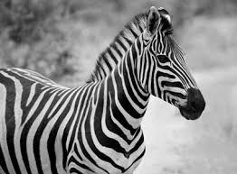 wildlife lamp shades lion lamp shades tiger lamp shades zebra