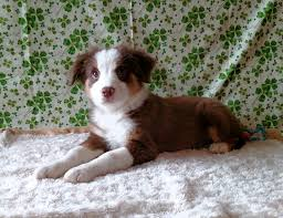australian shepherd 11 weeks old australian shepherd carousel acres