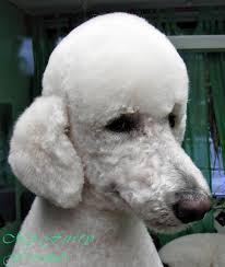 pictures of poodle haircuts pet grooming the good the bad the furry no poodle look