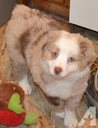 miniature australian shepherd 8 weeks miniature australian shepherd 8 weeks red merle w blue eyes for