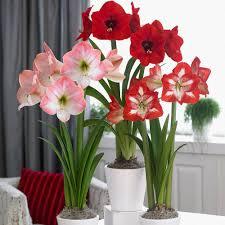 amaryllis flower amaryllis trio lion apple blossom minerva bulbs 3 pack