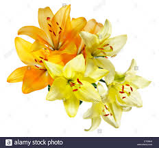 plan view of flowers orange and white yellow lilies on a white