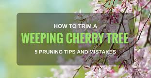 how to trim a weeping cherry tree 5 pruning tips and mistakes